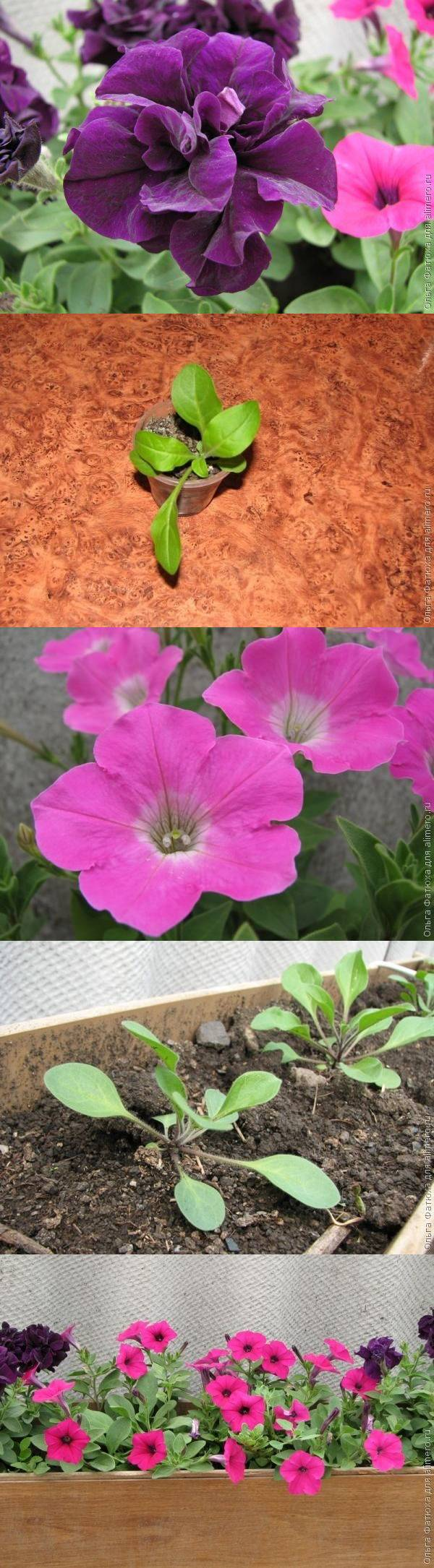 Советы профессионалов по выращиванию петуний 5