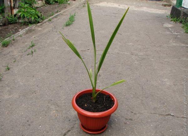 Финиковая пальма выращивание из косточки 54