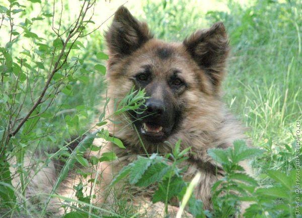 عکس سگ ژرمن شپرد مشکی