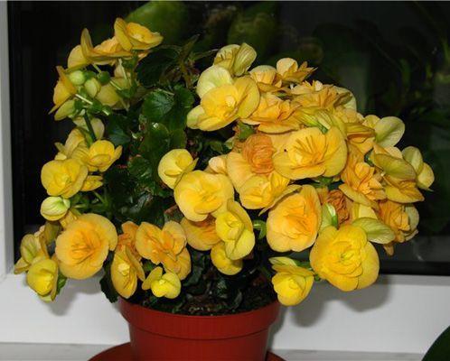 цветы комнатные фото бегония: