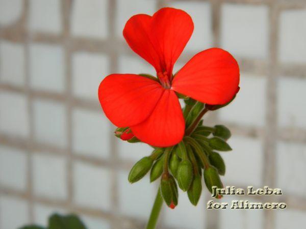 комнатные цветы фото и названия уход пересадка