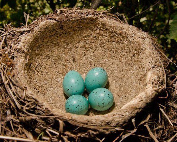 цвет яйца дрозда фото: