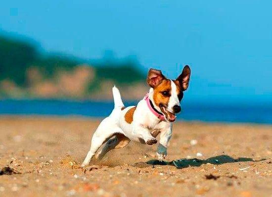 Джек-рассел-терьер.  Очень активная, прыгучая собачка. Взрослый джек-рассел-терьер достигает роста 30 см и веса в 8 кг. Собака неплоха для содержания в квартире, но не подойдет пожилым и малоактивным людям.