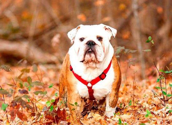 Английский бульдог. Средняя по размеру собака (рост до 41 см, вес до 26 кг) со спокойным характером. Друг взрослому, снисходительный товарищ детям. Английский бульдог хорошо приживается в квартире, ей достаточно коротких прогулок.