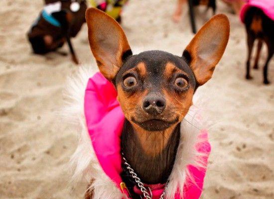 Той-терьер.  Эта маленькая собачка хороша для содержания в квартире. Вес песика составляет от полутора до 2,6 кг, вырастает он до 26 см.