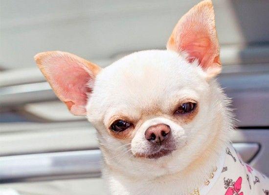 Чихуахуа. Идеальные собаки для квартиры – короткошерстные и длинношерстные мексиканские чихуахуа. Рост взрослого песика доходит до 22 см, вес не превышает 2,5 кг. Чихуа склонны выделять одного хозяина, привязываться и ревновать.
