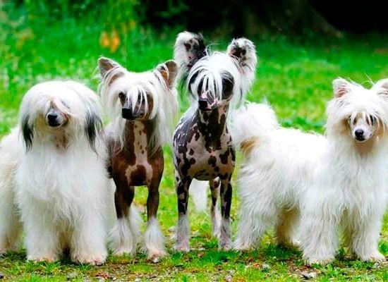 Китайская хохлатая. Эта оригинальная собака может вырастать до 30 см и весить около 5 кг. Китайская хохлатая хорошо подходит для квартиры. Чаще всего встречается голая китайская собака, с шерстью на хвосте, голове, ушках и лапках. Преданный друг, верный компаньон.