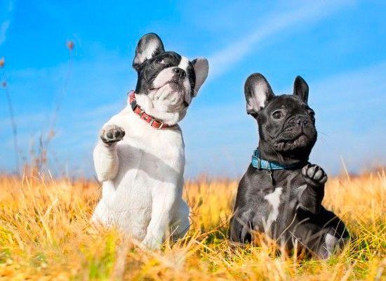 Французский бульдог.  Небольшой пес ростом до 34 см и весом до 14 кг. Ласков, игрив, ценит общение. Это отличные собаки для проживания в квартире без маленьких детей. Бульдоги очень преданы, любят неторопливые прогулки.