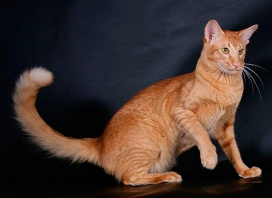 Яванская игривая, ласковая и немного шумная. Несмотря на это, яванская кошка хорошо переносит одиночество в течение дня. Ей достаточно недолгого общения со своим хозяином, что бы почувствовать себя по-настоящему счастливой. Эта порода лучше всего подходит для начинающих владельцев кошек и наилучший выбор для пожилых людей.