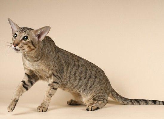 Ориентальная кошка покладиста, ласкова, энергична и подвижна, чрезвычайно общительна, умна; легко обучается несложным командам: например, принести игрушку.