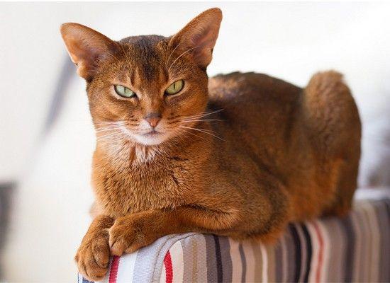 Абиссинские кошки являются чрезвычайно дружелюбными и общительными и очень любят играть. Они большие и обычно рыжие. Шерсть короткая.
