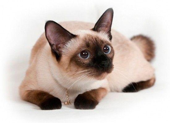 Сиамских кошек не зря сравнивают с собаками, они самые общительные из всех кошачьих пород и чрезвычайно привязываются к хозяину. Сиамки очень чувствительны, не выносят одиночества и не в меру ревнивы. Эта кошка постоянно нуждается в подтверждении, что ее по-прежнему любят.