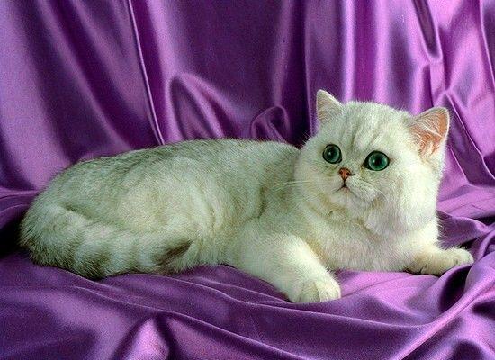 Экзотическая. От персов они унаследовали общительный и нежный темперамент, однако они более игривы и любознательны, чем их длинношерстные родственники. Легкий характер этих кошек позволит им вписаться в ваш дом в любом возрасте.