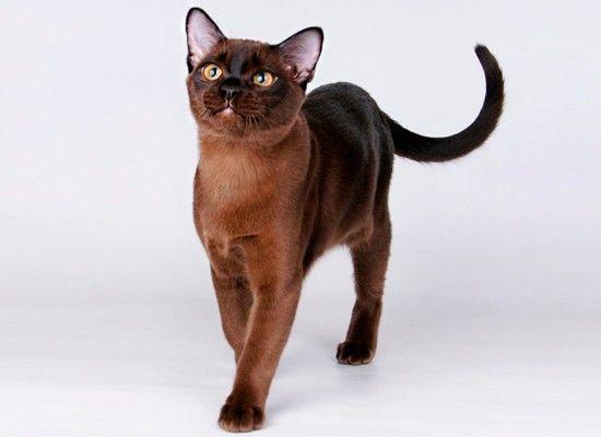 Бурманская порода. Игривые и адаптируемые, эти кошки одинаково привязаны ко всем членам своей семьи. Короткошёрстная порода с монотонной раскраской шерсти: чёрная, серая, коричневая, последняя очень симпатичная цветовая окраска.