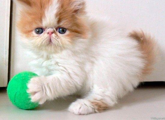Спокойная и ласковая персидская , с относительно спокойным поведением, хорошо подходит для жизни в квартире. Хотя, персидская кошка не нуждаются в особом внимании, и хорошо переносит длительное отсутствие своих владельцев, однако персидская кошка требует ежедневного ухода за шерстью.