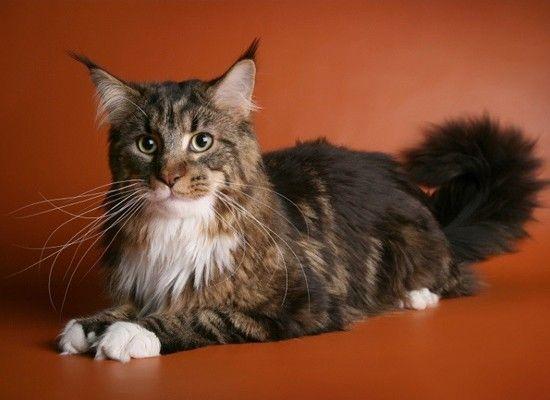 Мейн-кун. Эти крупные кошки очень общительны и прекрасно ладят с детьми. Однако есть маленький минус в их содержании, их шерсть следует ежедневно вычёсывать щёткой.