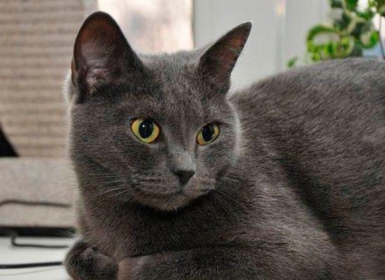 Русская голубая является ласковой, но независимой кошкой. Она, как известно, застенчивая с незнакомыми людьми, но очень лояльна к своим хозяевам. Ее плюшевая шерстка не требует особого ухода. Она умеренно активна и игрива.