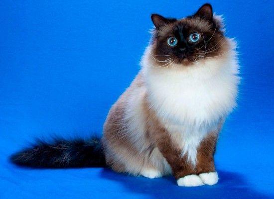 Дружелюбные и ориентированные на людей, бирманские кошки очень ласковы с детишками. Характеризуется шерстью средней длины. Эти кошки имеют более круглые глаза с голубым окрасом, что необычайно и красиво смотрятся.