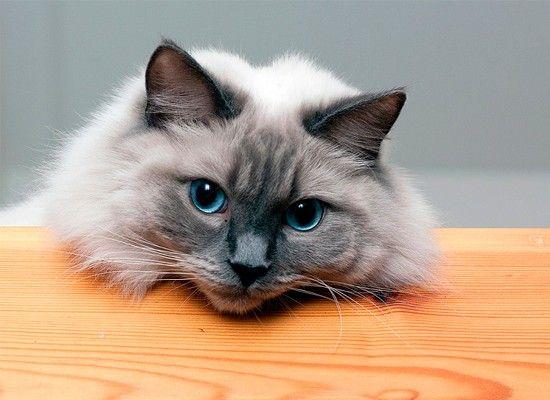 Рэгдолл известны своим непринужденным и нежным характером. Если вы ищете кошку, которая любит поиграть, но не особенно в этом требовательна, то Рэгдолл может быть вашим идеальным компаньоном. Эти кошки должны находиться только в помещении и хорошо приспосабливаются к жизни в квартире.
