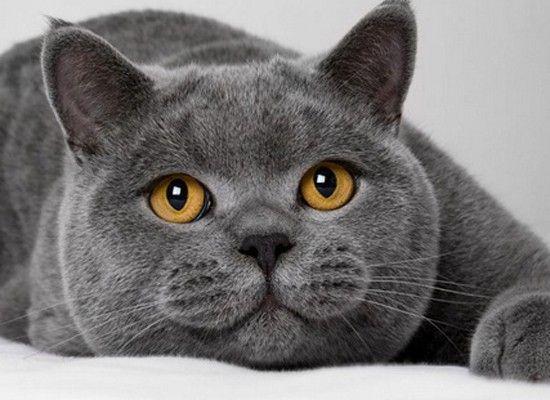 Британская кошка особенно известна своей способностью приспосабливаться к жизни в квартире. Тихая и дружит со своим владельцем. Это порода, также, хорошо подходит для начинающих владельцев кошек. Если вам нравится сидящая на коленях кошка, то эта порода для вас.