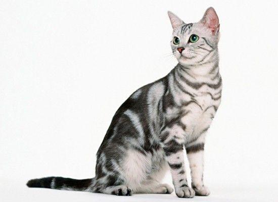 Американская короткошёрстная. Эти счастливые, социальные, энергичные кошки также хорошо ладят с собаками. Имеют короткую шерсть в трёхцветной раскраске: чёрный, серый и белый. Очень симпатичная и игривая порода.