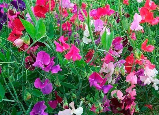 Душистый горошек. Это красивая садовая лиана, которая вырастает до 2 м в высоту. Она не переносит жару, лучше всего растет в умеренном климате. Цветки горошка мягко и приятно пахнут.