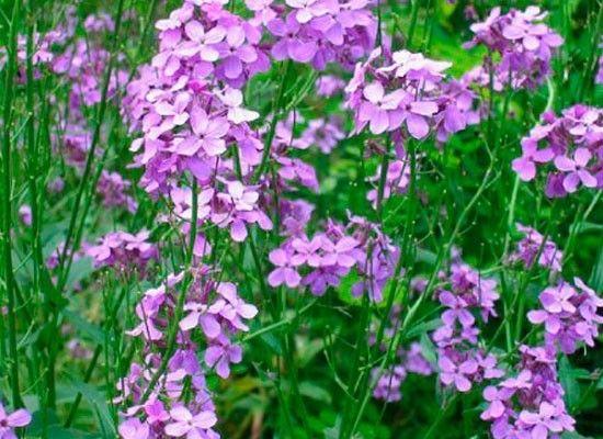 Маттиола, или ночная фиалка, днем закрывает свои скромные цветочки. Но вечером они раскрываются и начинают пахнуть очень ярко, насыщенно. Маттиола легко переносит редкие поливы. На балконе ее семена завязываются хорошо.
