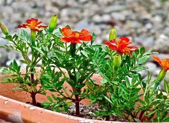 Бархатцы очень неприхотливы, цветут с начала лета и до заморозков, хорошо принимают разного рода подкормки. К тому же они отпугивают насекомых и тлю и прекрасно подходят для северных и восточных лоджий. А вот на южных и западных у них будут обгорать листья.