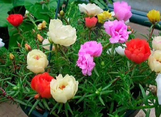 Портулак. Отличные цветы для южного балкона: без потерь переносят жару, прямые солнечные лучи, не нуждаются в частых поливах. Мясистые листья портулака накапливают воду, поэтому даже при засухе они не увядают и не теряют своего внешнего вида.