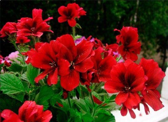 Непременно украсит ваш цветочный уголок пеларгония королевская или крупноцветная. Ее красивые двухцветные бутоны будут радовать тонким нежным ароматом, а глянцевые листья очень красивы. Цветет пеларгония с начала марта и до конца ноября.