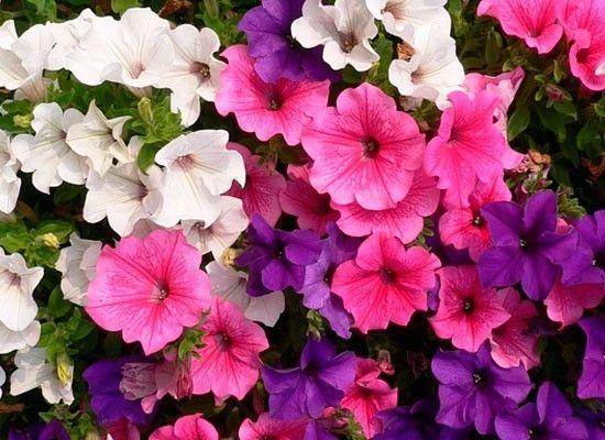 Петуния. Одно из самых распространенных и любимых растений для озеленения балконов и террас. Огромной популярностью среди цветоводов этот цветок пользуется благодаря продолжительному периоду цветения, большому разнообразию форм, простоте выращивания и большому разнообразию расцветок.