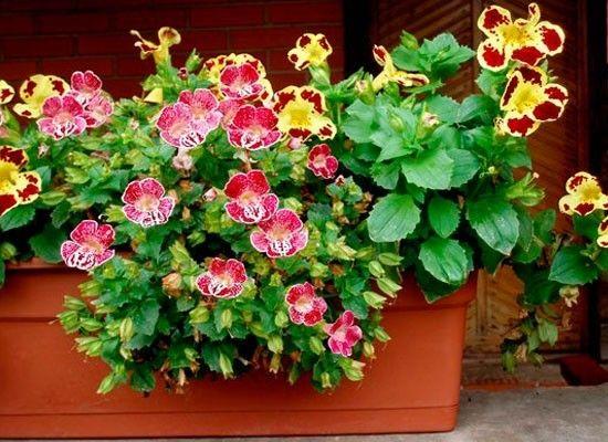 Мимулюс распускает свои пестрые, вытянутой формы, цветочки даже в тени, на застекленных северных балконах. Прямое солнце для мимулюса противопоказано. Этот цветок на балконе требует влажных, даже сырых почв, поэтому особенное внимание при выращивании стоит уделить обильному поливу.