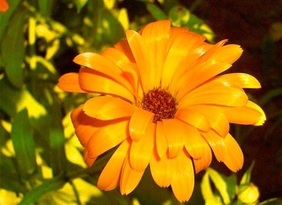 Календула. Это холодостойкое растение, которое легко выдерживает заморозки до -5 градусов и которое любит хорошо освещенные места и воду. В жаркую погоду его поливают 2-3 раза в неделю.