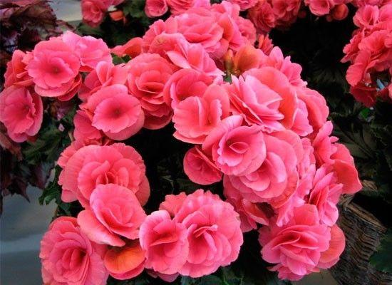 Бегония. Это красивое растение, которое часто используют для оформления городских площадей, но оно отлично подойдет и для балкона. Цветы бегонии настолько многообразны, что в некоторых случаях сложно увидеть между ними родственные связи.