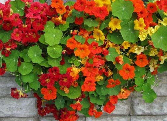 Настурция. Настоящий король среди летних цветов. Это растение одинаково хорошо смотрится как на клумбе, так и на балконе. Семена крупные, всходят быстро.