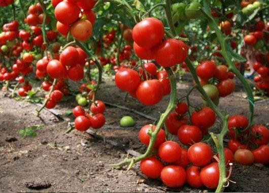 Чтобы растение лучше развивалось, а плоды были крупнее и вкуснее, поливайте рассаду овощей и взрослые кусты помидоров водой с добавлением йода( три капли йода на ведро).