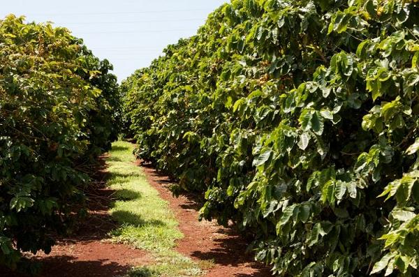 Кофе растет на деревьях. Сами деревья могут вырастать до 9 метров в высоту, но их культивируют так, чтобы они вырастали около 3 метров, ведь так легче собирать плоды.