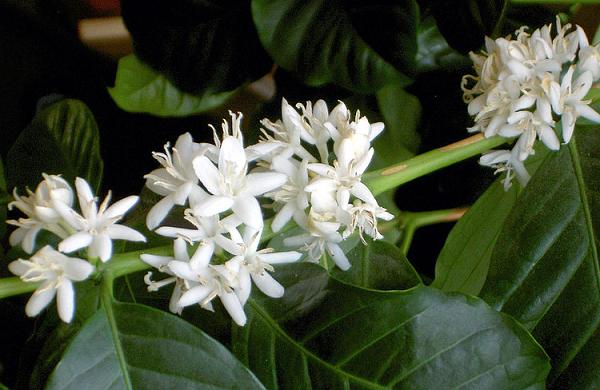 Кофейным деревьям требуется от 3 до 4 лет, чтобы созреть, и плодоносят они от 20 до 30 лет.