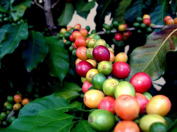 Видите эти ягоды, которые растут на деревьях? Именно так выглядело содержимое вашей чашки кофе раньше. Бобы кофе - это на самом деле зерно внутри ярко-красной ягоды. Сами ягоды очень вкусные, обладают легким медовым вкусом, похожим на вкус персика.