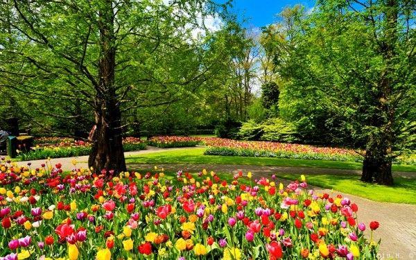 24. Кекенхоф, Нидерланды. Это сказочное парково-цветочное королевство, раскинулось на площади в 32 га. Представьте только: вас со всех сторон окружают тюльпаны, сакуры, лилии, орхидеи, нарциссы. Все они собраны в уникальные, отражающие современные модные тенденции, композиции. И количество этих прекрасных цветов 7 млн (именно столько луковиц высаживают садоводы Кекенхофа ежегодно). Красота необыкновенная!