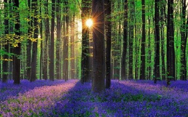 15. Лес Халлербос, Бельгия. Причина, по которой лес приобретает такой волшебный вид, - плотный ковер из цветов колокольчика. Они цветут в конце весны и начале лета, заполняя пространство Халлербоса всеми оттенками синего и фиолетового.