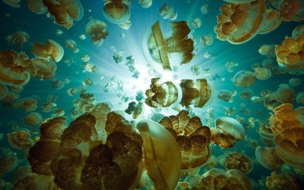 10. Озеро медуз, Палау. Если бы медузы были ядовитыми, посещение этого места могло бы стать довольно опасным занятием. К счастью, те два вида медуз, которые населят это озеро, безвредны для человека. Миллионы медуз ежедневно дрейфуют от одного берега озера к другому в поисках пищи, сопровождая свое неспешное движение необычным световым шоу.