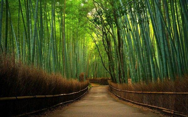 29. Бамбуковый лес, Япония. В этом лесу из бамбука свет проливается необычными лучами и стоит приятный гул ветра. Кстати, шум, который издает бамбуковый лес - это главная его изюминка. Дело в том, что ветер, ударяясь о пустотелые стебли бамбука, создает небольшую вибрацию, распространяющуюся по всему бамбуку. Во всем лесу создается гулкое звучание, сочетающееся с шелестом листьев.