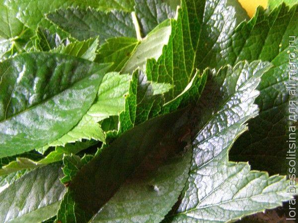 огурцы соленые, лист вишни, хрена, смородины