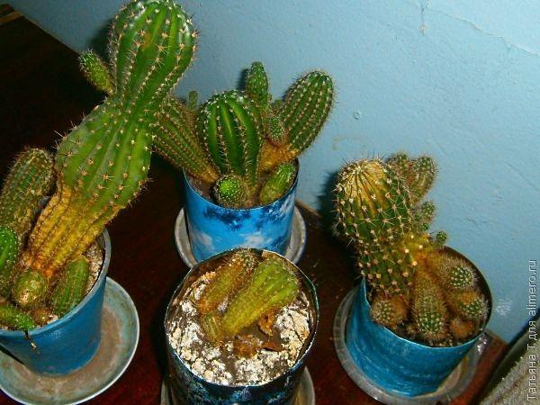 Как только эти кактусы еще живы?