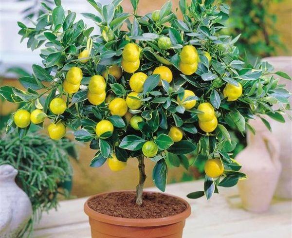 Лимонное деревце можно вырастить как из укоренившегося черенка, так и из косточки. Урожая правда придется ждать несколько лет, но зато можно добавлять в обыкновенный чай небольшие листочки лимона. Получается очень интересный вкус.