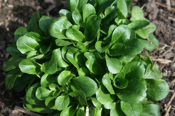 Валерианелла (или полевой салат) имеет нежный вкус, напоминающий ореховый. С таким салатом очень гармонируют рыбные блюда, мясо и овощные рагу.