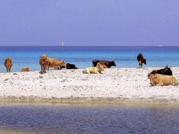Пляж Салессия, Корсика. Это один из самых красивых пляжей Корсики. Там, из  ослепительно белых песков, прямо к небу поднимаются величественные сосны.