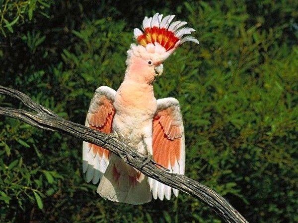 Я ли не красавец! Я ли не король джунглей! Погоди, сейчас еще крылья раскрою.