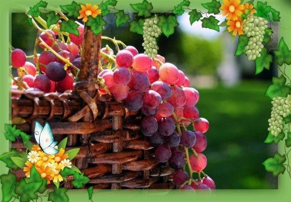 13. Компот из винограда на зиму (целыми гроздьями). Приготовление: 3 кг винограда в кистях, 1 кг сахара, 1.5 л воды. Приготовление: Крупный виноград в кистях промыть холодной водой, уложить в банки и залить охлажденным сахарным сиропом. Банки плотно закрыть и пастеризовать 30 минут при 80 °С или стерилизовать 10 минут в кипящей воде.